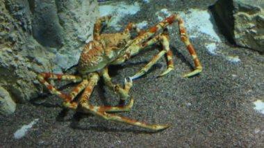 Grand crabe sous l'eau — Vidéo