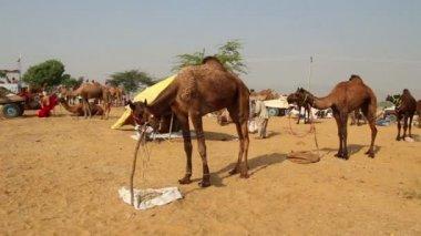Pushkar Camel Fair - group of camels during festival — Stock Video