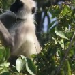 图库视频影像: Presbytis monkey eating fruits on tree