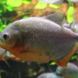Piranhas fish underwater — Stock Video
