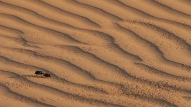 Scarab beetle on sand dune in desert — Stock Video