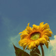 Sunflower under blue sky - vintage retro style — Stock Photo