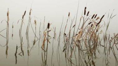 Lago na névoa - hastes de junco reflectido na água — Vídeo stock