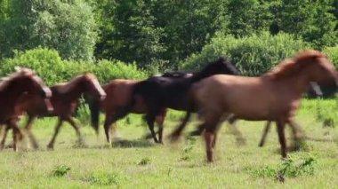 Herd of horses running on pasture — Vídeo de stock