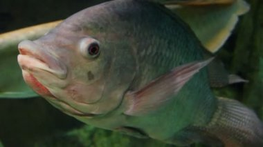 Big siamese carp underwater — Stockvideo