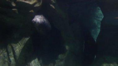 Seal underwater — Stock Video