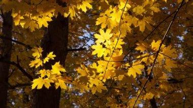Beautiful autumn yellow leaves — Vídeo de Stock