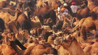 Pushkar Camel Fair - camels during festival — Stock Video
