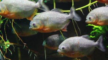 Piranhas fish underwater — Stock Video