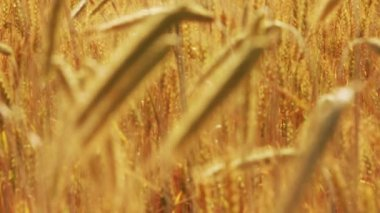 Yellow field with ripe wheat - change of focus — Stock Video