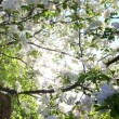 Stock Video: Sun shining through blossom apple tree branches