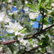 Stock Video: Blossom apple tree branches close-up