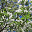 Stock Video: Blossom apple tree branches