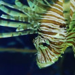 Stock Video: Lionfish or zebrafish underwater