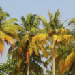 Coconut palms under blue sky — Stock Video