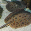 Two rays undewater - porcupine river stingray — Stock Video #38722463