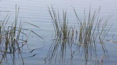 Pflanzen und Wasser welligkeit auf Sommer Teich — Stockvideo