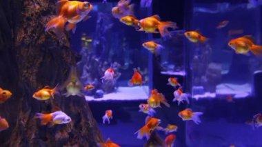 Muchos peces de colores en acuario — Vídeo de Stock
