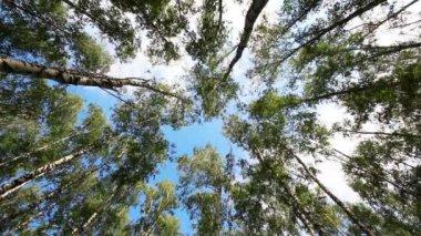 верхушки деревьев березы летом — Стоковое видео