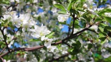 Flor de maçã árvore ramos close-up — Vídeo stock