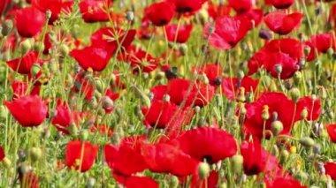 Vele rode papaver bloemen in veld — Stockvideo