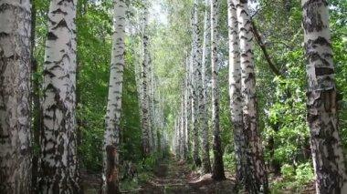 Letní březové lesy alej v rusku - dolly shot — Stock video