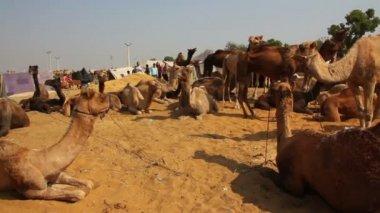Pushkar Camel Fair - camels during festival — Stockvideo