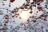 Ash-berry branches under snow at winter — Stock Photo