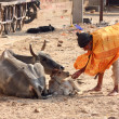 Old indian man feeding a calf with bread — Stock Photo #39954677