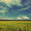 Sunflowers field - vintage retro style — Stock Photo