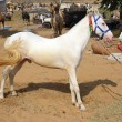 White stallion at Pushkar Camel Fair — Stock Photo #39966073