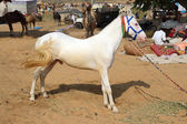 White stallion at Pushkar Camel Fair — Stock Photo