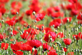 Red poppy flowers in field — Stock Photo