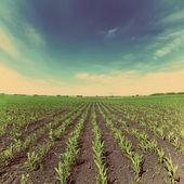 Corn field - vintage retro style — Stock Photo