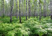Nice summer birch forest — Stock Photo