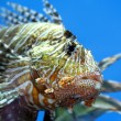 Lionfish zebrafish underwater — Stock Photo