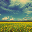Sunflowers field landscape - vintage retro style — Stock Photo