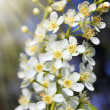 Blossom bird cherry tree flowers — Stockfoto