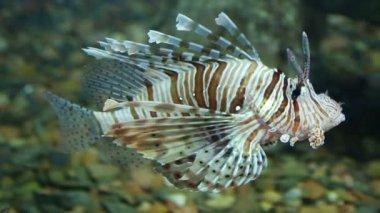 Sualtı lionfish zebra balığı — Stok video