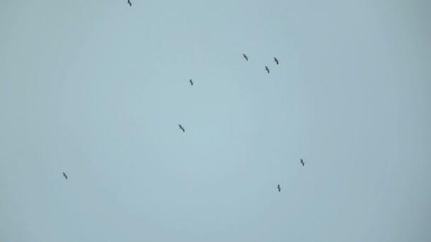 Grand troupeau de cigognes dans le ciel — Vidéo