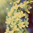 Blossom bird cherry tree flowers - vintage retro style — Foto de Stock