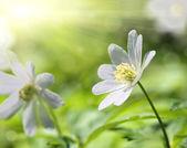 White anemone flower macro — Stock Photo