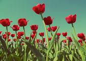 Red tulips - vintage retro style — Stock Photo