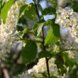 Blossom bird cherry tree flowers — Stock Video #47077145