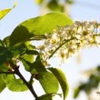 Sun shines through the flowers of bird cherry tree — Stock Video #47077619