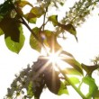 Sun shines through the flowers of bird cherry tree — Stock Video #47077697