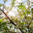 Sun shines through the flowers of bird cherry tree — Stock Video #47077713