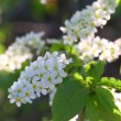 Blossom bird cherry tree flowers — Stock Video #47077817