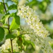 Sun shines through the flowers of bird cherry tree — Stock Video #47077979