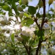 Sun shines through the flowers of bird cherry tree — Stock Video #47078035